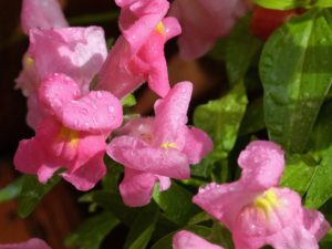 common-snapdragon-795976_1920